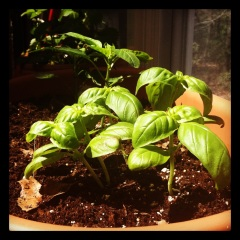 My new garden - basil